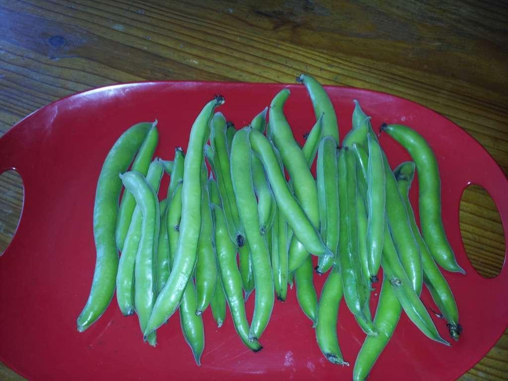 Broad beans aka Fava beans